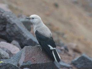 Mummy bird at Crater Lake