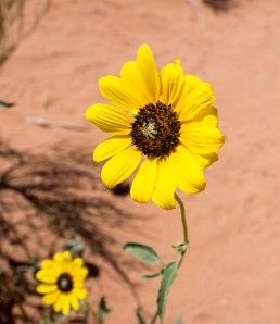 Desert Flower 1a
