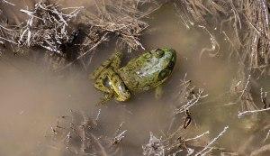 Froggie 1a