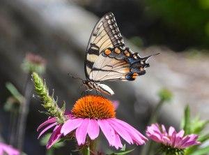 FW BG Butterfly 1a