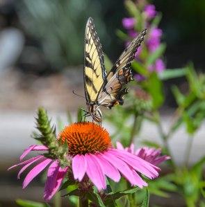 FW BG Butterfly 2a