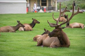 Elk with six points on each antler with his harem!