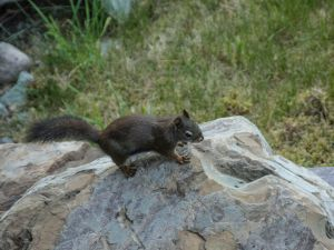 Black Squirell 1a