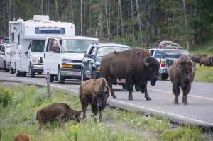 Buffalo Herd crossing the road and causing chaos!