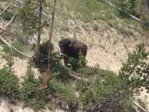 Buffalo above the car park destroying a tree!
