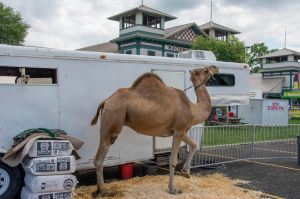 A camel at the Fair - they were giving rides