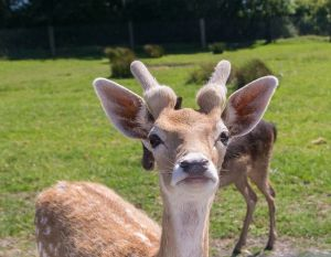 Deer 3a