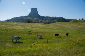Two cows, two buffalo and one Texas Longhorn passed by the Devils Tower