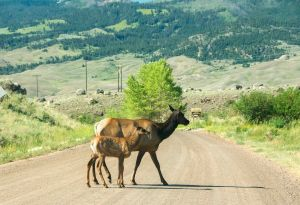 Elk and Fawn