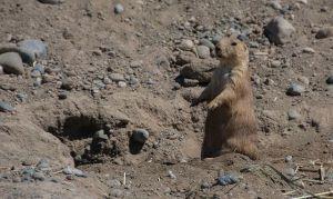 Prairie Dog - small and cute!