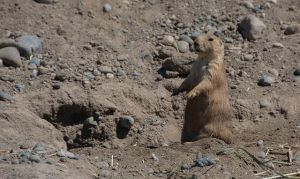 Prairie Dog - small and cute!