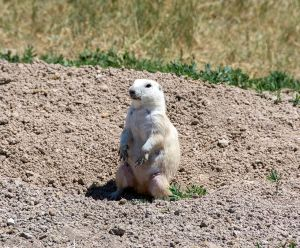 A white Prairie Dog at The Homestead