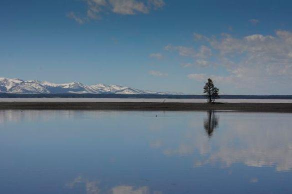 Lone Tree on Lake Yellowstone