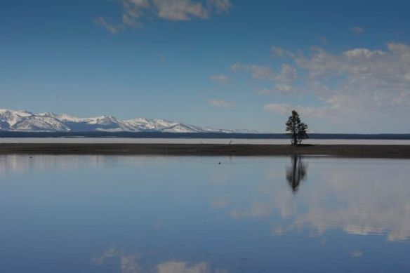 Lone Tree on Lake Yellowstone