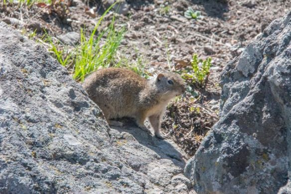 A yellow bellied Marmot