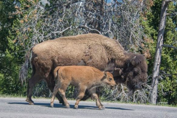 Another mummy bison and baby