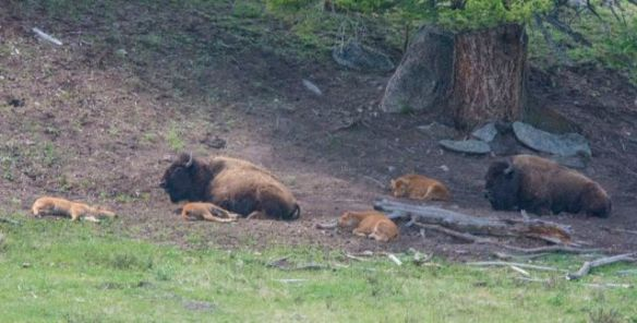 Mummy bison with babies