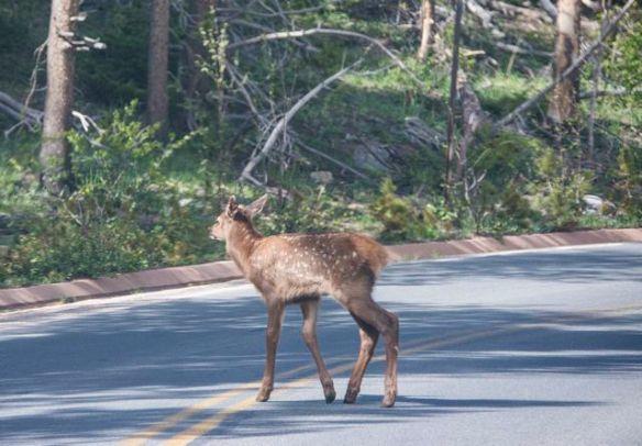 Elk Calf in Road