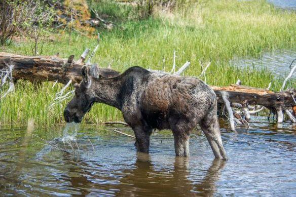 Moose at Sprague Lake