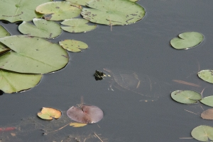 Turtle in Witch Hole Pond