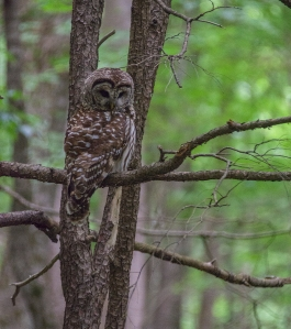 Owl on the trail