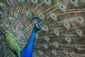 Peacock 1 Blog