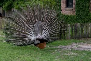 Peacock's rear!