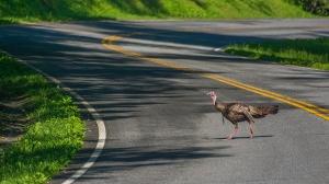 Turkey crossing!