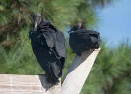 Black Vulture 3
